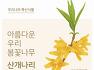우리나라 특산식물 「아름다운 우리 봄꽃나무 산개나리」