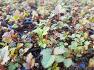 울릉도 삼나물 2년생 능개승마모종 판매 합니다