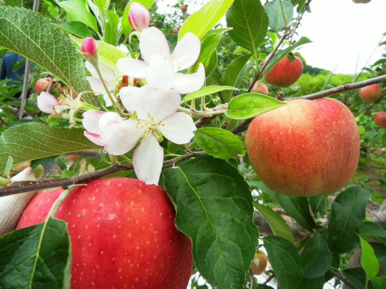 Image result for 사과 열매