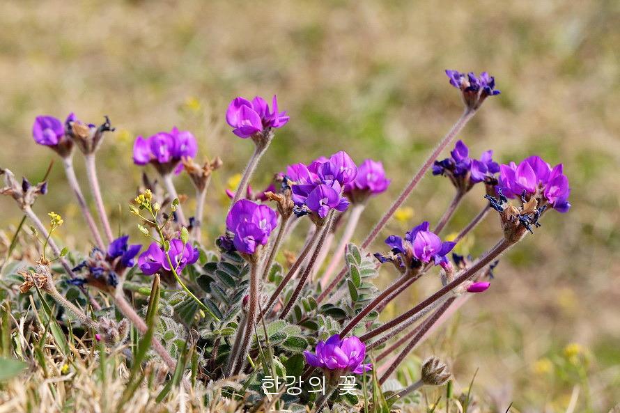 Image result for Gueldenstaedtia verna